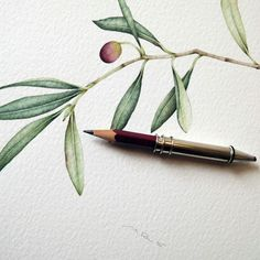New olive branch. Original watercolor. Italian olive.