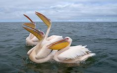 Pelicans.  Getty Images.