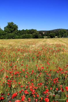 Champ de coquelicots by Claudine Mistral on 500px