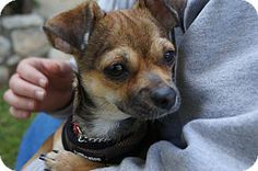 Beverly Hills, CA - Brussels Griffon/Chihuahua Mix. Meet Cara a Puppy for Adoption.