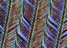 A feather of Selasphorus rufus, the Rufous hummingbird, at 31.25-times magnification.    Image by Charles Krebs.