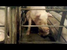 Walmart, Christensen Farms Targeted In Mercy For Animals Investigation Focused On Gestation Crates