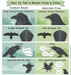 How to tell a Common Raven from an American Crow Animal Facts, Animal Memes, Animals And Pets, Baby Animals, American Crow, Raven Bird, Crows Ravens, Cute Funny Animals, Animal Kingdom