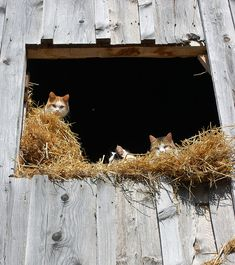 ♥ cats in old barn