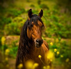 Mustang stallion Chief at wild horse sanctuary, Lompoc, CA -- photo by Sue Ratcliffe