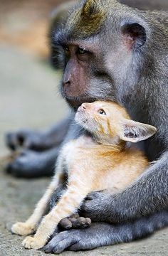 This wild monkey, a long tailed macaque, has adopted an abandoned ginger kitten and cared for it as his own. In Bali, the wild monkey protectively nuzzles and grooms the kitten, who has no qualms about getting all this attention.