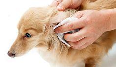 limpiando las orejas de un perro