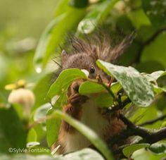 Pour se désaltérer, ils sirotent les gouttes d'eau sur les feuilles.