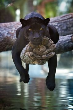 Black Jaguar (Panthera Onca). Black Jaguars or often called Black Panthers have black fur caused by melanism. Similarly, leopards can also have black fur.