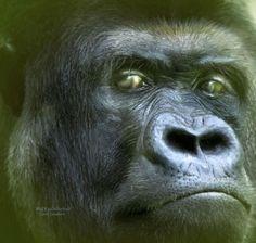 Wild Eyes - Silverback Gorilla