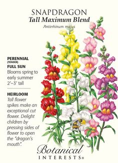 Annual (Perennial usually grown as an annual, may overwinter in climates as cold as USDA zone 5.) No cottage garden should be without tall snapdragons. The beautiful colors in this blend will add char