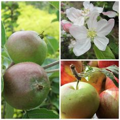 Growing heritage apples. The Garden Times