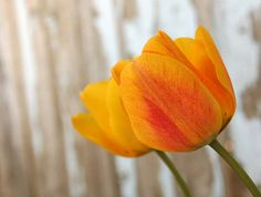 tulips | 30 Days :: 3 :: BailiwickDesigns | Di: bailiwickdesigns | Flickr - Photo Sharing!