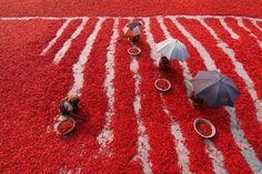 Red Chilli Pickers Photo by Azim Khan Ronnie — National Geographic Your Shot
