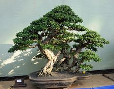 The Grand Indonesian Bonsai and Suiseki Exhibition - Page 2