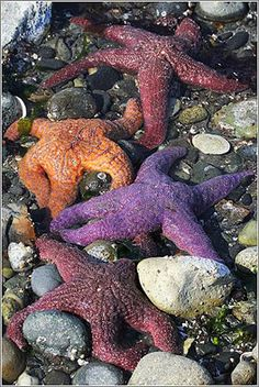 Puget Sound starfish at low tide.