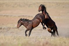 fighting wld horses | Yellowstone Nature Photography by D. Robert ...