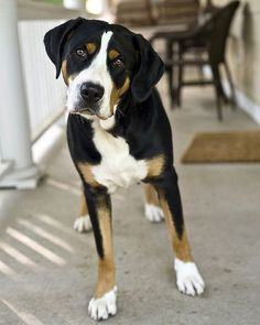 Swiss Mountain Dog. I have always wanted one of these. Have only meet two of them in my life so far.