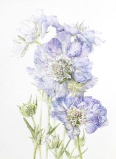 Examples of the watercolour botanical art of Elaine Searle. Botanical Illustration, Botanical Art, Watercolor Flowers, Watercolour, Colored Pencils, Flower Art, Flora, Artwork, Plants