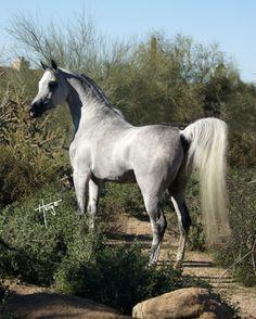 Majiid EQ, grey Egyptian Arabian stallion exported to Europe, (Shahir IASB x Miss Maggie Mae). Arabians Ltd.