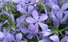 "phlox ""Clouds of Perfume"", intensive fragrance"