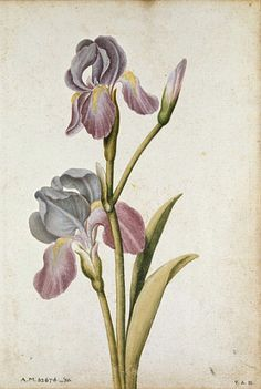 iris chrysographes ilustration - Google Search