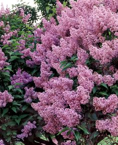 Lilac Bush...Just love the smell :) One of my most favorite bushes of all time!!