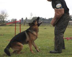 Schutzhund hold & bark