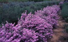 TexasSage: full sun, hardy shrub drought tolerant