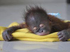 Fotos de todos los bebés del reino animal: Orangután bebé durmiendo tranquilamente