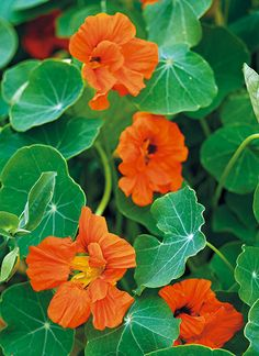 Quick-growing annual vines: Wouldn't you love to pack more flowers into your garden? Here are six quick-growing annual vines to add to your garden this year. Climbing Flowers Trellis, Climbing Flowering Vines, Flower Trellis, Climbing Vines, Suculant Garden, Balcony Garden, Garden Ideas, Honeysuckle Plant, Annual Flowers