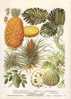 Vintage Fruit Botanical Print, Food Plant Chart, Art Illustration, Kitchen Decor Series, Pineapple
