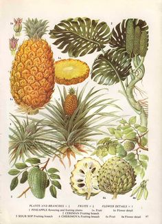 Vintage Fruit Botanical Print, Food Plant Chart, Art Illustration, Kitchen Decor Series, Pineapple