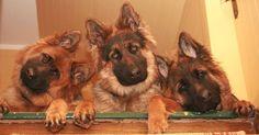 Love the head tilts!! LOL #germanshepherd #dog #pet