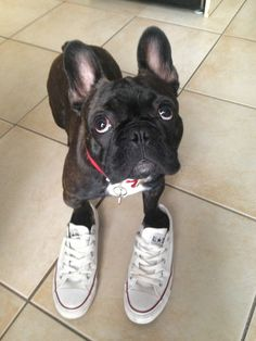 Frankie #converse #frenchie