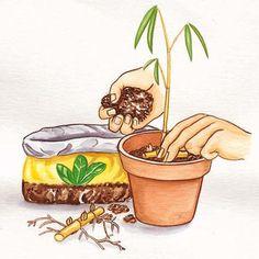 Bambus Vermehrung