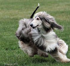 Afghan Hound by Tundra Ice, via Flickr Looks like our beautiful Lacy, a rescue hound.   You've been gone a decade and I miss you every day
