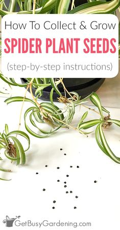 Growing spider plant houseplants from seed is easy. Here are detailed instructions for how to collect and grow spider plant seeds, and care for spider plant seedlings.  #houseplants #indoorgardening #spiderplant