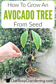 Growing avocado from seed is fun and easy, and it's a great way to grow yourself a new houseplant. To grow avocado tree from seeds, all you need is the pit from a ripe avocado fruit, and a handful of common items to make it grow roots and sprouts. Avacado Tree From Seed, Growing Avacado Tree, Grow Avocado Tree, Growing Avacado From Seed, Growing Avocado Indoors, Growing Fruit Trees, Indoor Avocado Tree, Indoor Fruit Trees, Avocado Tree Care
