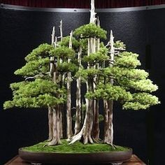 "Great Bonsai trees - Goshin (""protector of the spirit"") is a bonsai created by John Y. Naka. It is a forest planting of eleven Foemina Junipers, the earliest of which Naka began training into bonsai in 1948. Naka donated it to the National Bonsai Foundation in 1984, to be displayed at the United States National Arboretum; it has been there ever since."