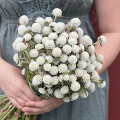 Audray White - Gomphrena Seed | Johnny's Selected Seeds