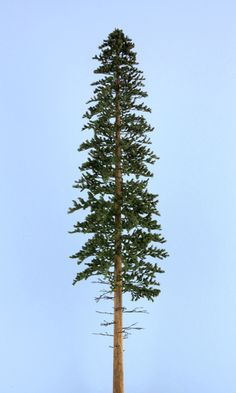 The trunk on the model LODGEPOLE PINE is a deep cinnamon red/brown. The foliage is a brownish green with the bottom third of the trunk having only dead oimbs.