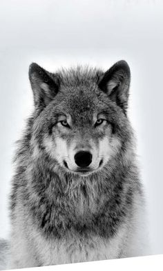 Wolf Lovers | Wolf Gifts | Wolf Stuff Arctic Wolf, Arctic Animals, Majestic Animals, Largest Wolf, Bear Totem, Wolf Hoodie, Wolf Paw, Geometric Wolf, Alpha Wolf