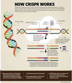 is a genome editing tool that is creating a buzz in the science world. It is faster, cheaper and more accurate than previous techniques of editing DNA and has a wide range of potential … Biomedical Science, Science Biology, Teaching Biology, Science Education, Life Science, Study Biology, Biology Lessons, Science Lessons, Dna Research