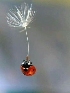 "I'm Flyin' Free!"" A Ladybug on a Floating Dandelion Seed ""Whoopie! I'm Flyin' Free!"" A Ladybug on a Floating Dandelion Seed Beautiful Bugs, Amazing Nature, Beautiful World, Beautiful Places, Beautiful Creatures, Animals Beautiful, Foto Macro, Funny Animals, Cute Animals"