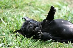 Rub my belly staffy Stafford Bull Terrier, Staffordshire Bull Terrier, Cute Puppies, Cute Dogs, Dogs And Puppies, Pit Bulls, Terrier Breeds, Dog Breeds, Baby Dogs