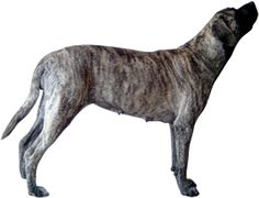 American Mastiff. American Mastiff, Mastiff Breeds, English Mastiff, Rottweiler, Boxers, Pugs, Fur Babies, Pitbulls, Puppies