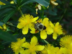 st. john's wort & bumble bee, certified wildlife garden,by Gina Marino
