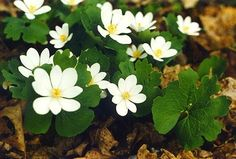 Bloodroot, one of the first wildflowers in the Spring.  When the flower first blooms, the leaf is wrapped around the stem of the flower, like a hug.