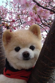 cute puppy in ladybug outfit + cherry blossoms = total cuteness